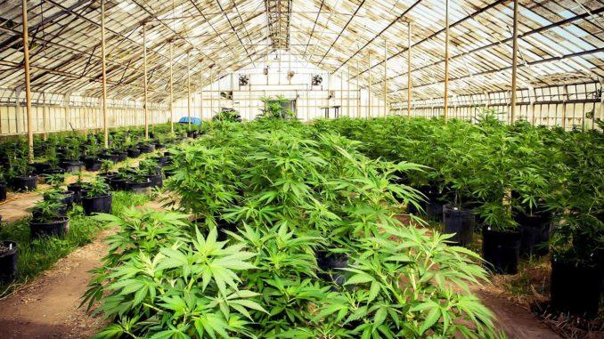 Cannabis Grower Tends Plants in Warehouse, Denver Colorado